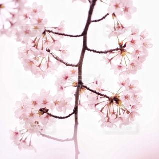 桜んの写真・画像素材[872086]
