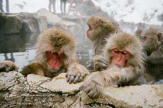 ニホンザルと温泉の写真・画像素材[324537]