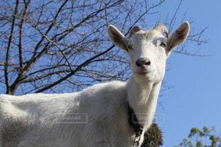 空,動物,山,笑顔,山羊,カメラ目線,やぎ