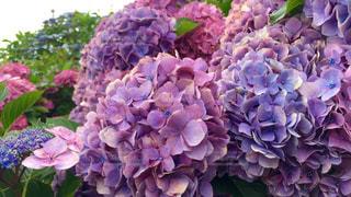 紫陽花畑でお散歩の写真・画像素材[334340]