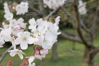 桜🌸の写真・画像素材[1974541]