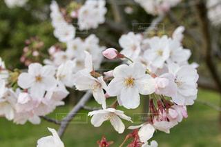 桜🌸の写真・画像素材[1974544]