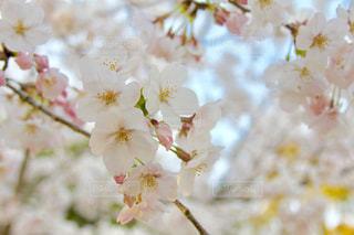 桜🌸の写真・画像素材[1974555]