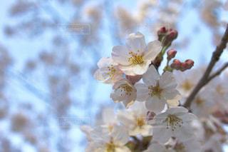 桜🌸の写真・画像素材[1974621]
