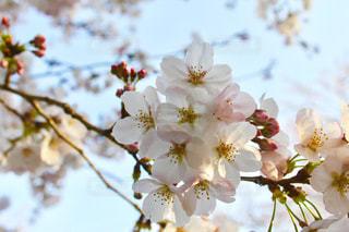 桜🌸の写真・画像素材[1974625]
