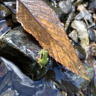 落ち葉と蛙の写真・画像素材[1671501]
