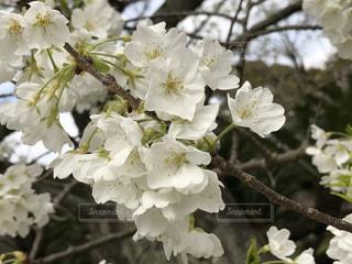 桜の写真・画像素材[419693]