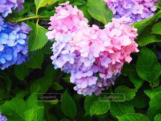 花の写真・画像素材[381196]