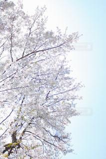 No.506396 桜