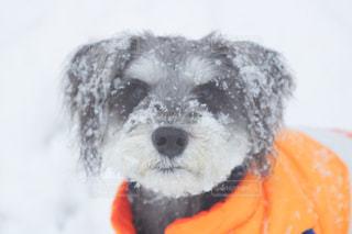 着ぐるみを着た犬の写真・画像素材[977978]
