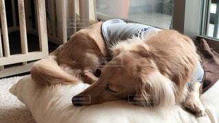 ベッドの上に横たわる大きな茶色の犬 - No.728563