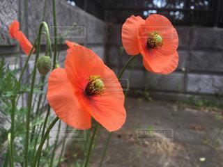 オレンジ色の花の写真・画像素材[729847]