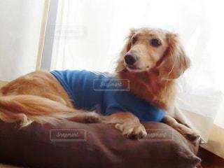 ベッドの上に横たわる犬の写真・画像素材[935530]