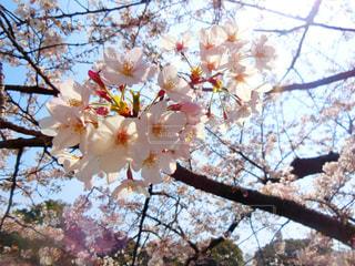 木の枝にピンク色の花のグループの写真・画像素材[935532]