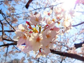 木にピンクの花のグループの写真・画像素材[935533]