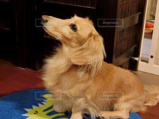 テーブルの上に座っている犬の写真・画像素材[935542]