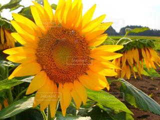 黄色の花 - No.965609