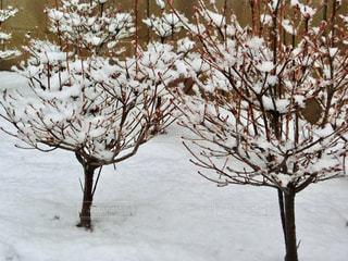 雪に覆われた木の写真・画像素材[971362]