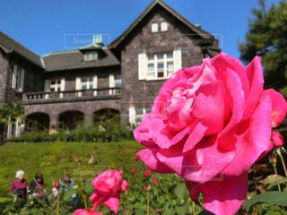 ピンクの花のグループの写真・画像素材[981413]