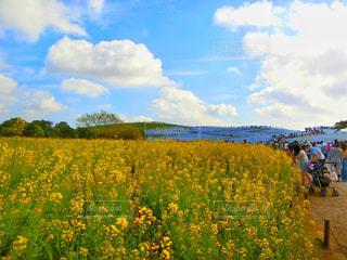 フィールド内の黄色の花の写真・画像素材[981431]