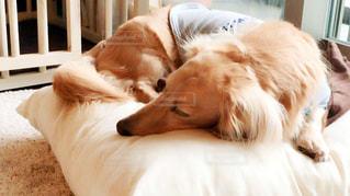 ベッドの上で横になっている茶色と白犬の写真・画像素材[985252]