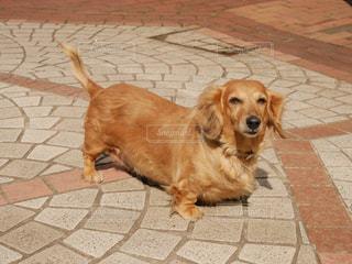 歩道の上に横たわる犬の写真・画像素材[1031237]