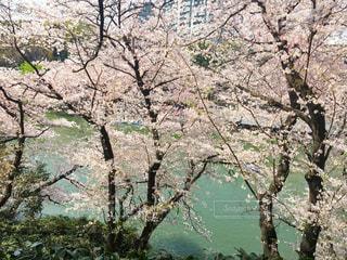 桜の花見の写真・画像素材[1117847]