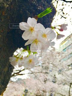 植物の白い花の写真・画像素材[1127255]