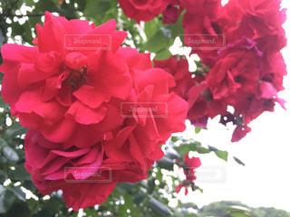 近くの花のアップの写真・画像素材[1273621]