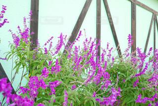 紫色の花一杯の花瓶の写真・画像素材[1696293]