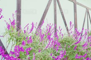 紫色の花一杯の花瓶の写真・画像素材[1696331]