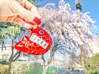 桜と川越金魚の写真・画像素材[2058405]