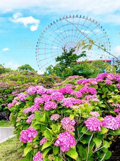 紫陽花と観覧車の写真・画像素材[2186485]