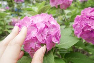 鮮やかな紫陽花のクローズアップを触る女性の指の写真・画像素材[2263177]