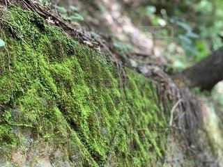 木の近くにある苔の写真・画像素材[2720275]