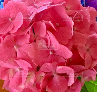赤い紫陽花の写真・画像素材[1253936]