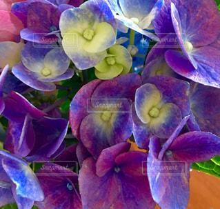 紫色の紫陽花の写真・画像素材[1253941]