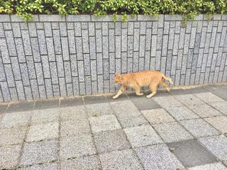歩いている猫の写真・画像素材[2953010]
