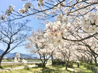 桜 2020年の写真・画像素材[3084098]