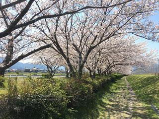 桜並木の写真・画像素材[3084106]