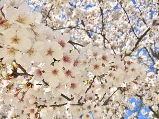 桜のクローズアップの写真・画像素材[3084104]