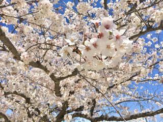 桜 2020年の写真・画像素材[3084101]