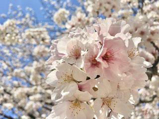 桜のクローズアップの写真・画像素材[3084103]