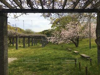 藤棚と桜の写真・画像素材[3105306]