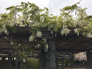 白い藤の花の写真・画像素材[3105321]