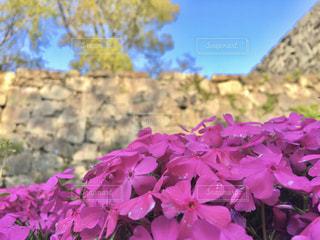 芝桜の写真・画像素材[3108325]