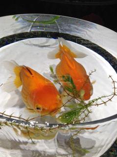 No.275164 金魚