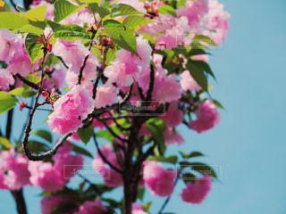 ピンクの花 - No.443707