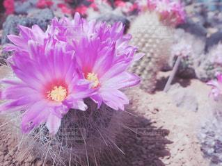 ピンクの花とサボテン - No.579728