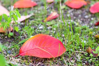 落ち葉の写真・画像素材[887187]